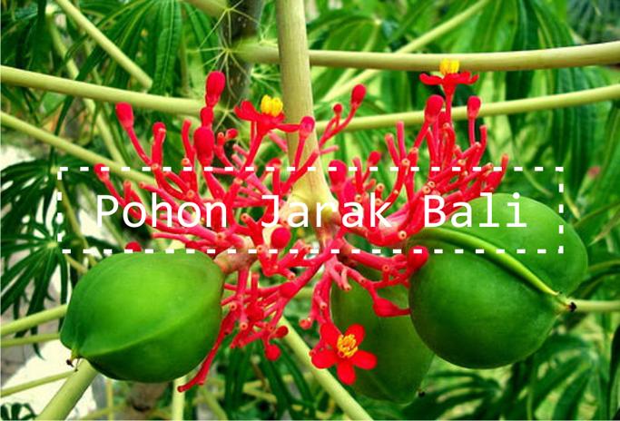 Image result for gambar tumbuhan jarak bali