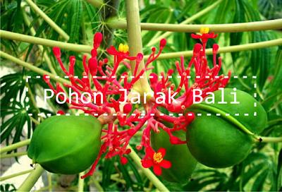Gambar Jenis Tanaman Jarak Bali
