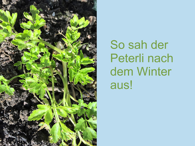 Petersilie nach dem Winter