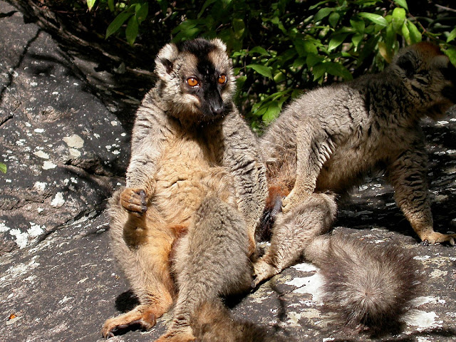 Eulemur rufus (le lémur à front roux)