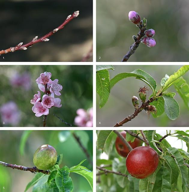 Đào - Prunus persica Stokes - Nguyên liệu làm thuốc Chữa Ho Hen