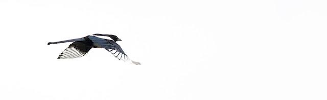 Magpie in Flight