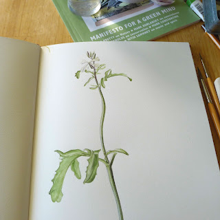 sketch, Giulia canevari, botanical sketches, rocket, eruca vesicaria sativa
