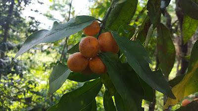 Health Benefits of Kumquat (cumquats)