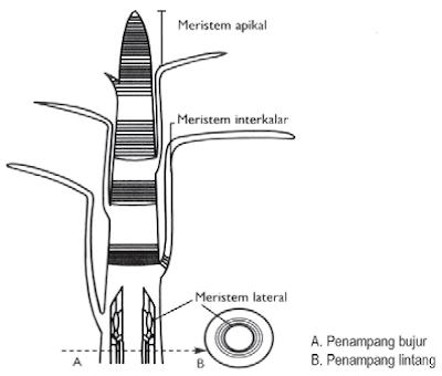 Gambar 3 Jenis Jaringan Meristem Menurut Letaknya