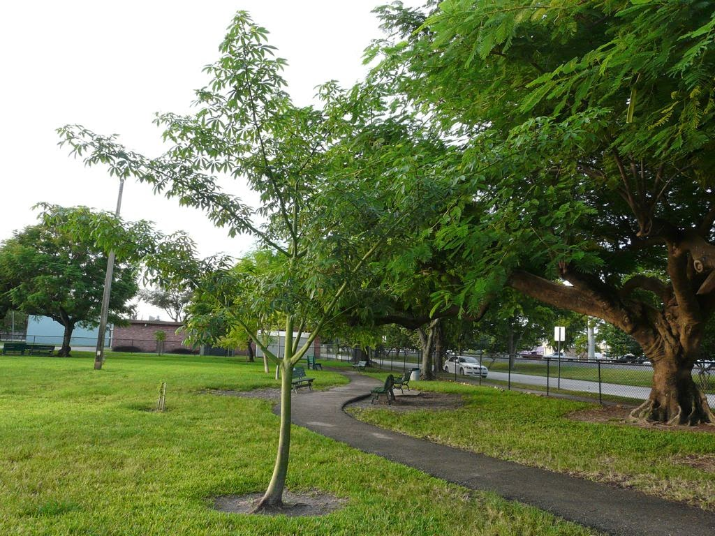 Ceiba pentandra - இலவமரம் Illava maram - Silk-Cotton