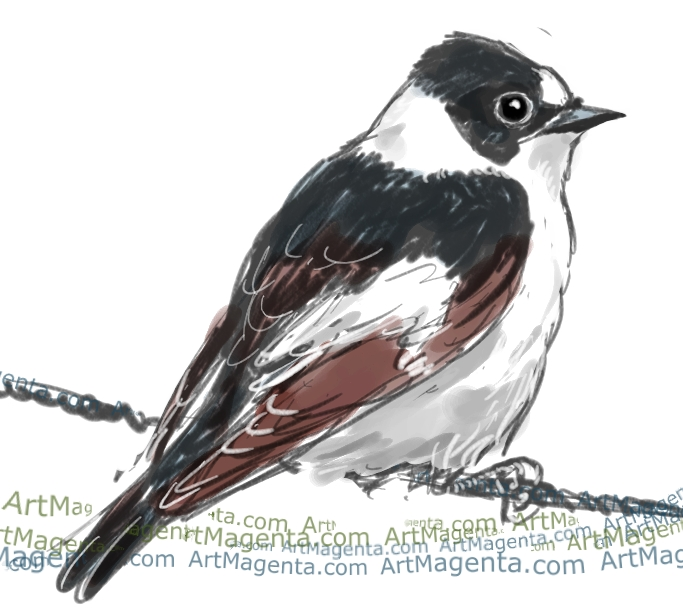 Collared Flycatcher ketch painting. Bird art drawing by illustrator Artmagenta