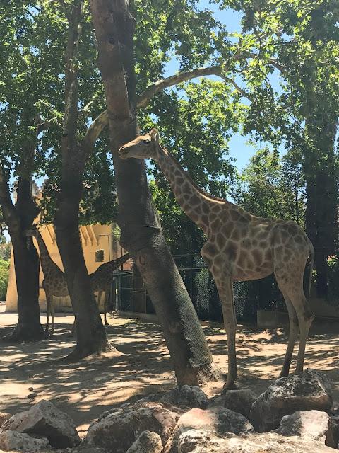 Giraffe Lisbon Zoo