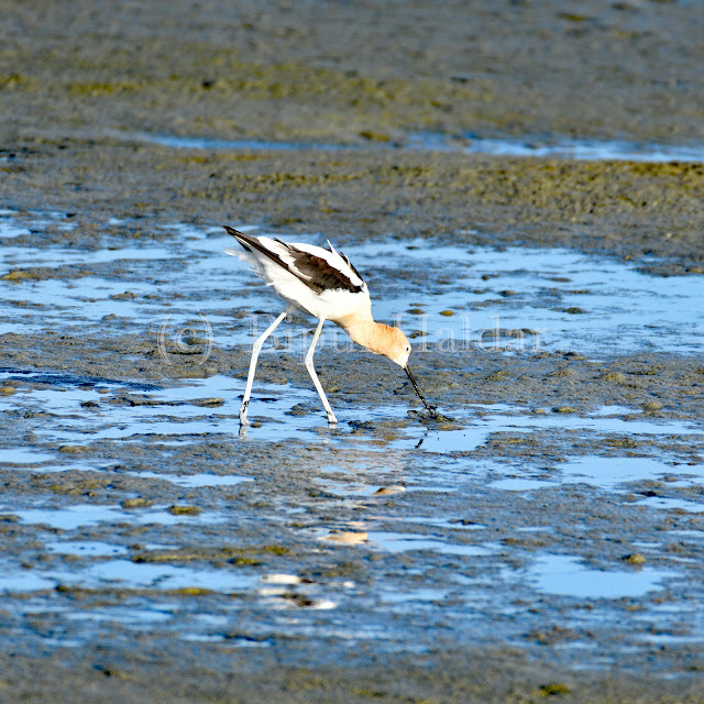 American Avocet searching for food in the mud