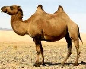 Foto de camello de perfil - animal con C