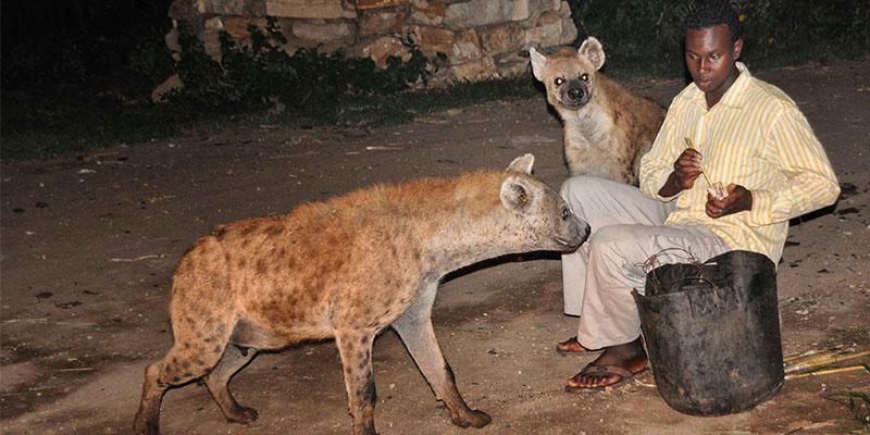 Hienas a serem alimentadas