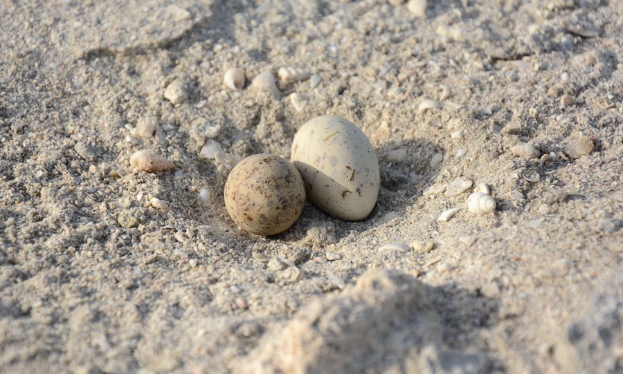 Little Tern Eggs