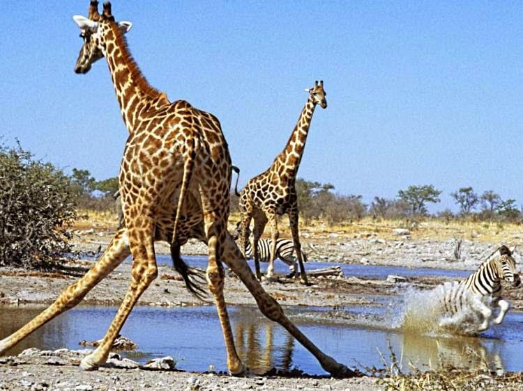 почему жираф не издает звуков