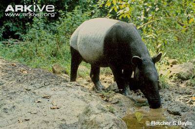 Klasifikasi Tapir (Tapirus indicus)