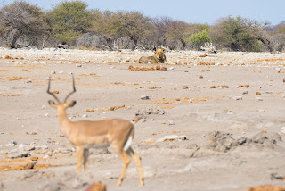 gazelle and lion watching each other