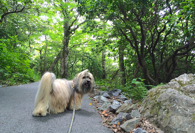 Hiking Brasstown Bald with Rocco Havanese dog