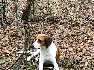 Http Dogtime Com Dog Breeds Treeing Walker Coonhound