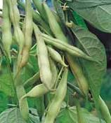 Лечение сахарного диабета зеленой фасолью
