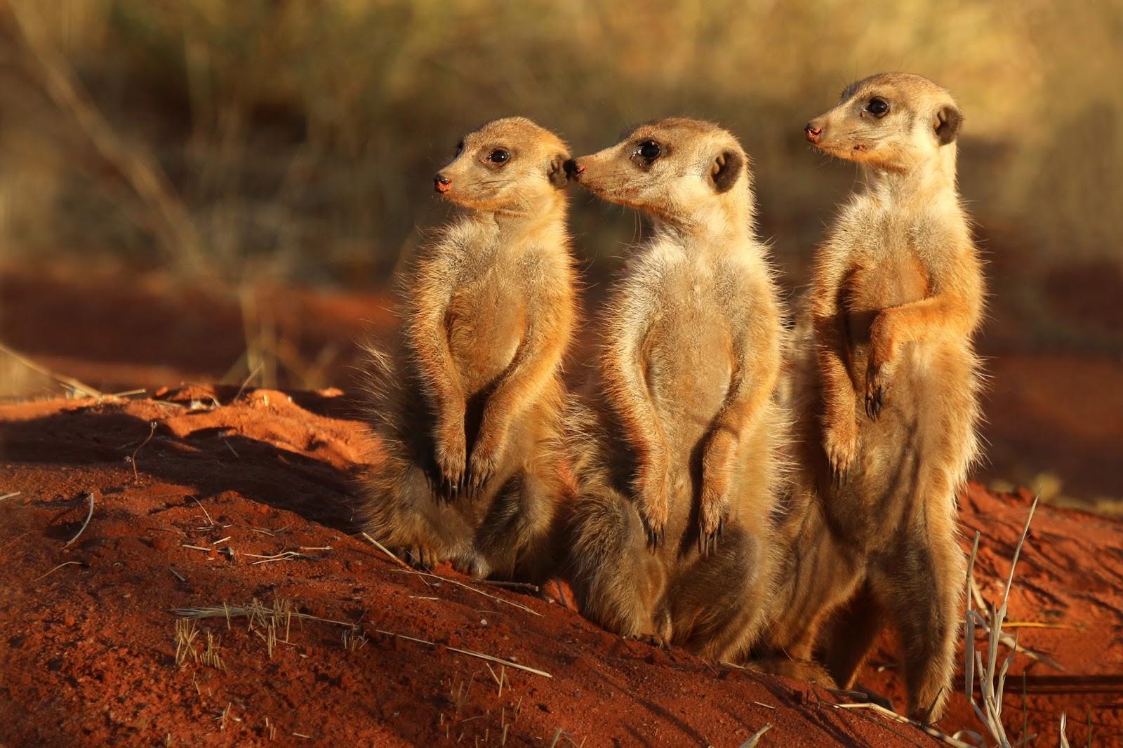 Mammals Animals: Meerkat (Suricata suricatta) Tswalu