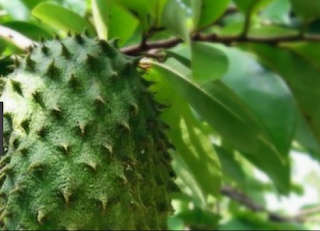 Benefit Soursop Fruits For Health