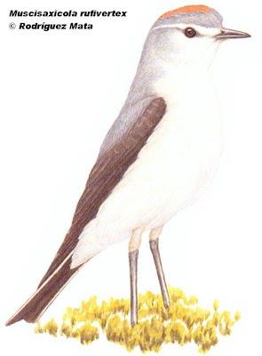 Dormilona gris Muscisaxicola rufivertex