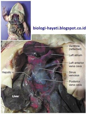 Sistem Peredaran Darah pada Katak