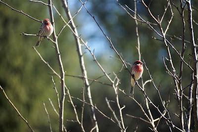 two house finches in crab apple tree