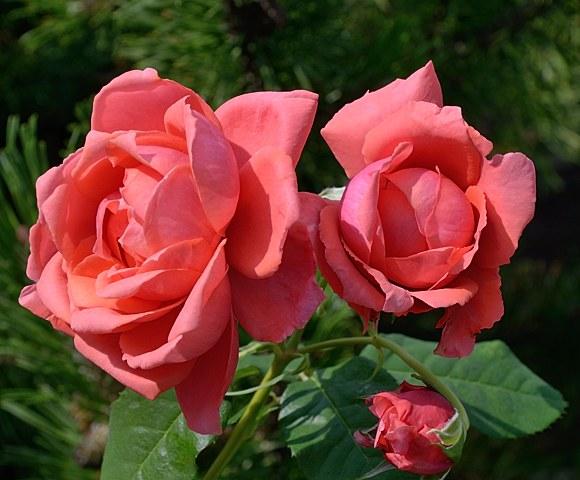 Antoine de Caunes роза Гийо сорт фото купить саженцы Минск питомник
