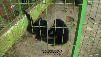 siamang hitam berpasangan di taman rimba jambi