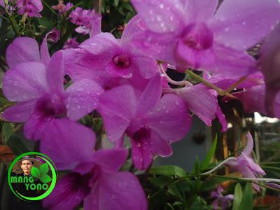 Lirik lagu: Bunga Anggrek - Sundari Soekotjo