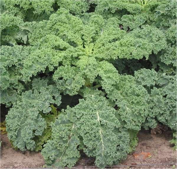 Le kale : légume ancien peu calorique riche en nutriments