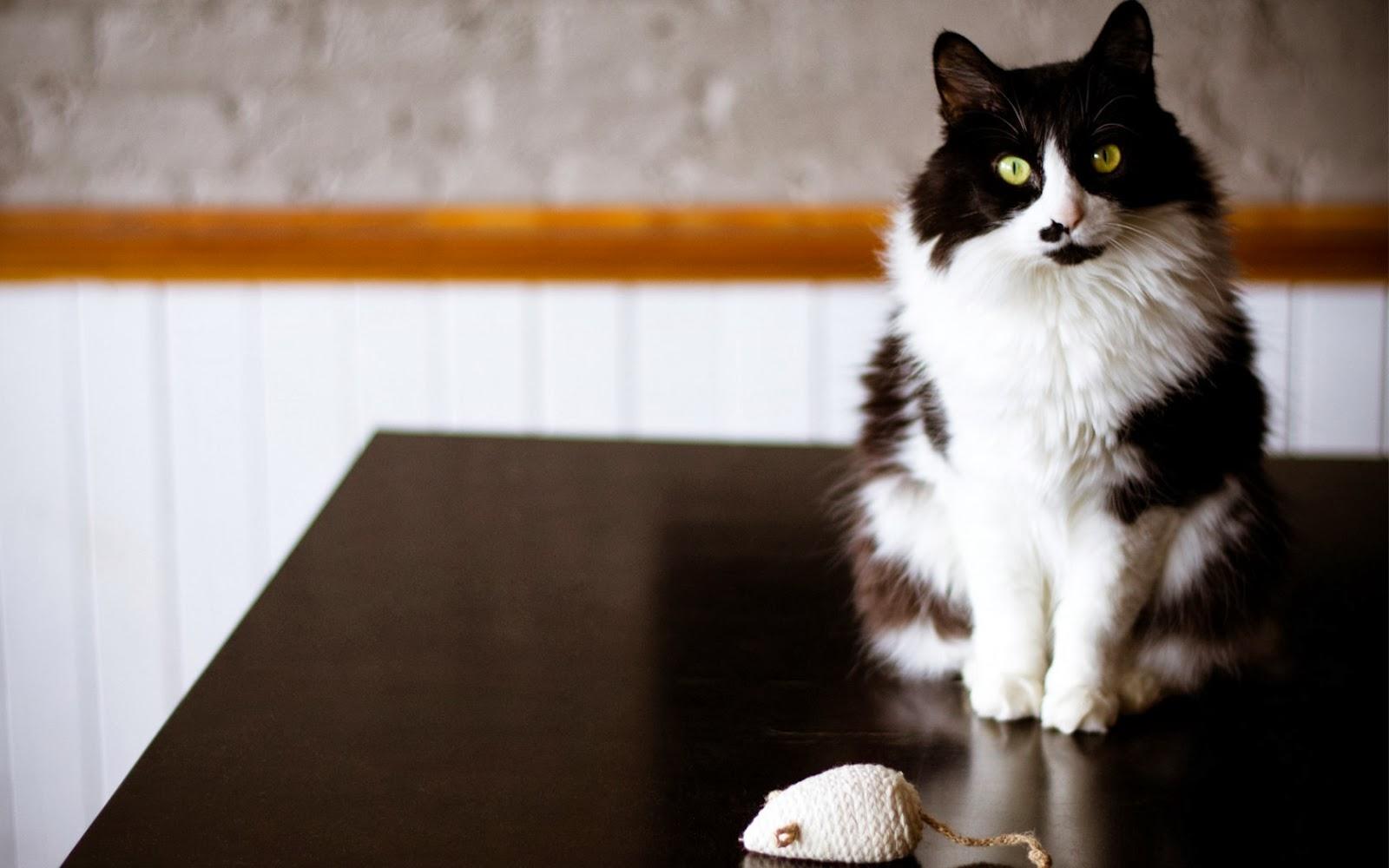 kucing-hitam-putih-tikus-mainan-wallpaper-1680x1050