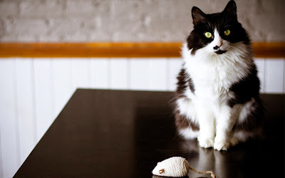 cat-black-white-mouse-toy-wallpaper-1680x1050