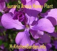 Lunaria Annua Money Plant
