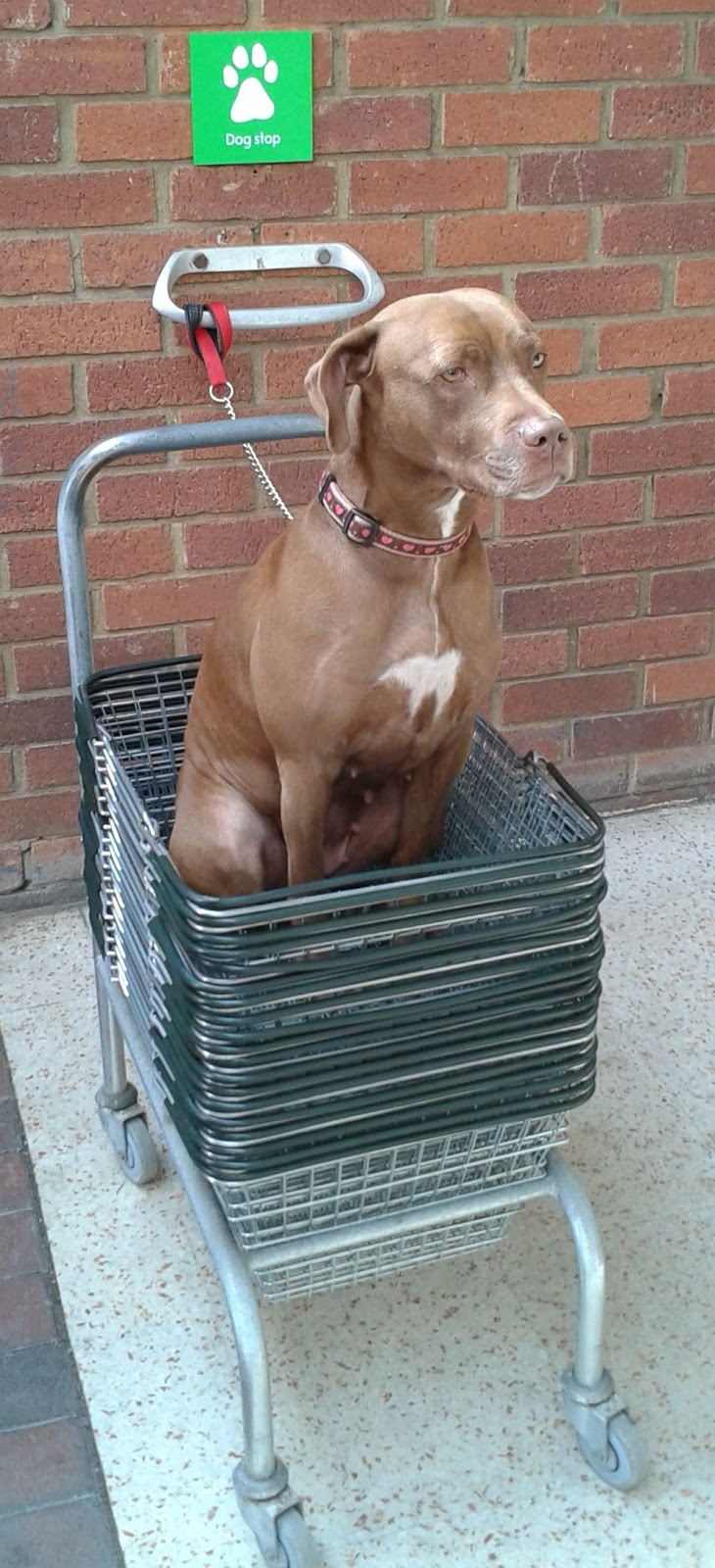 A dog in a stack of shopping baskets