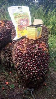 http://www.distributorpupuknasa.com/2018/03/cara-agar-kelapa-sawit-berbuah-terus-dan-tidak-trek.html