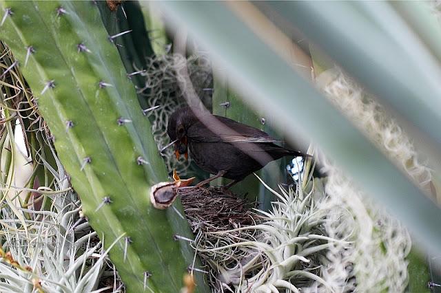 weibliche amsel am nest.