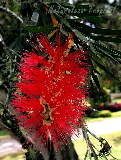Floración de una planta del género Callistemon