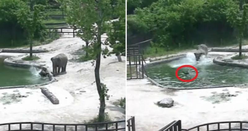 Ελέφαντες σώζουν το μικρό ελεφαντάκι από πνιγμό! (βίντεο)