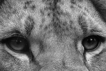 Lion Wallpaper Hd 1080p Black And White George S Blog