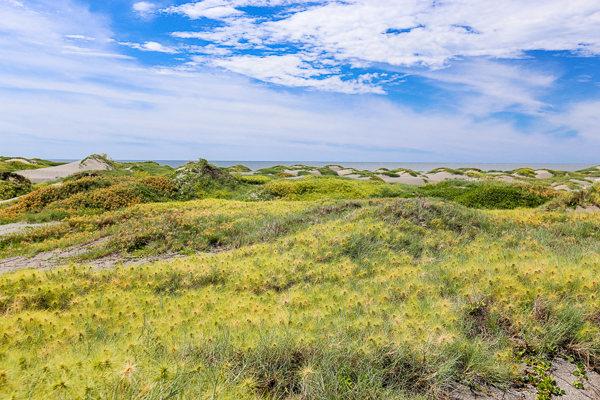 彰化線西海邊濱刺麥,隨著風吹滾動的刺球,就像沙灘上的保齡球