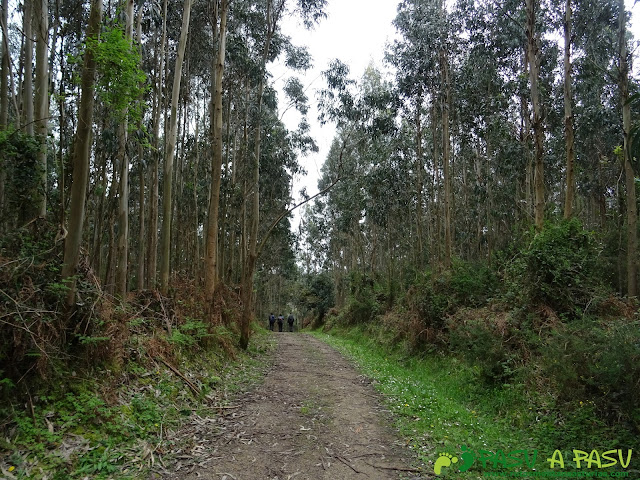 Camino entre eucaliptos por la Senda Costa Norte