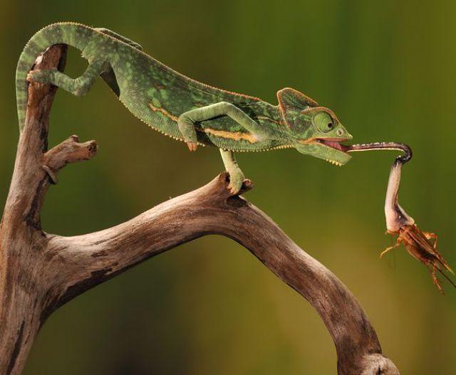 الحيوانات التي تصطاد  بالمباغتة وكيفية استهلاكها غذائها