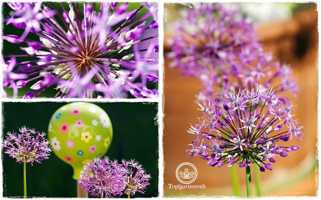 Gartenblog Topfgartenwelt Mein Frühlingsgarten: Zierlauch in der Abendsonne - Collage