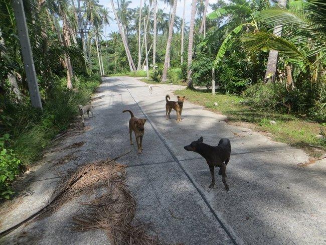 Напали собаки вовремя пробежки Самуи