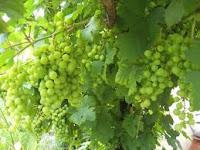 العنب مصدر نباتي