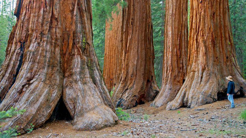 Séquoia en Californie