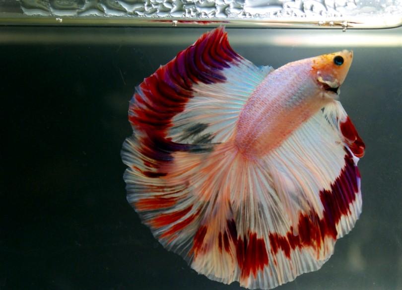 Unduh 53 Gambar Ikan Cupang Lucu HD Terbaik