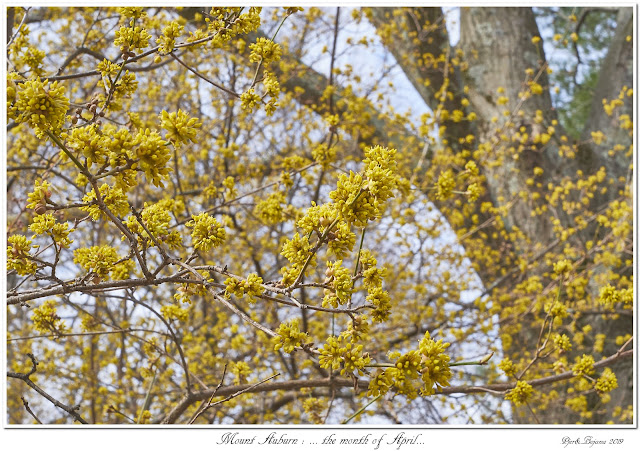 Mount Auburn: ... the month of April...