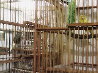 Proses Perjodohan Burung Kenari Yang Merupakan Pasangan Baru - Solusi Penangkaran Burung Kenari